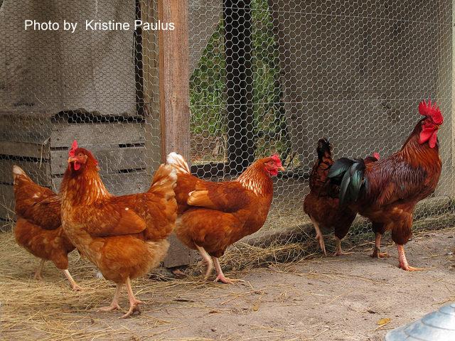 Adaptability In Raising Chickens